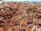 Escassez da chuva afeta lavoura de milho e pode reduzir supersafra em MS