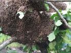 Homem morre ao ser atacado por enxame de abelhas
