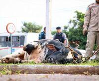 Polícia identifica marca de touro descontrolado e tenta rastrear dono