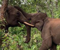 Coronavírus: elefantes podem morrer de fome com o colapso do turismo