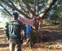 Polícia vai a acampamento e prende 5 ao flagrar javalis abatidos