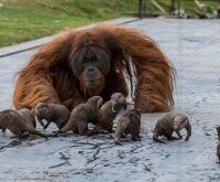 Orangotangos e lontras criam amizade inesperada em zoo da Bélgica