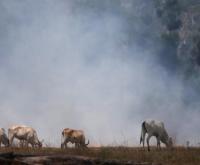 JBS, Marfrig e Minerva compraram gado ligado ao desmatamento, diz Greenpeace