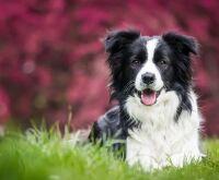 Veja quais são as 10 raças de cães mais inteligentes do mundo