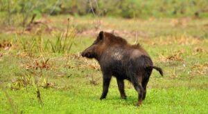 Iagro debate monitoramento de agentes virais nas populações de porco