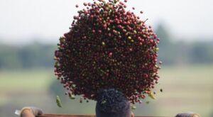 Safra de café em 2017 será menor que no ano anterior, estima Conab