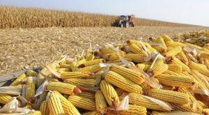 MS pode produzir até nais de 10 milhões de toneladas milho