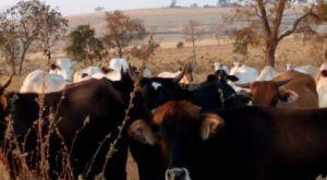 Após furtar 200 cabeças de gado, homem é preso