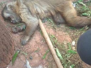 Um dos macacos encontrados mortos em MS