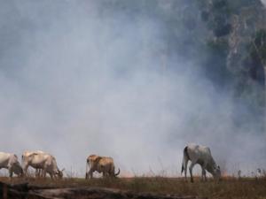 Gado em área queimada da Amazônia 16/09/2019