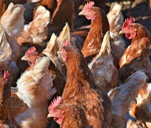 De acordo com o diretor da fazenda-escola onde ocorreu o incidente, galinhas podem facilmente atacar invasores mais fracos
