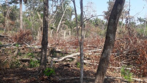 Comerciante é multado em 12,9 mil por derrubar 43 árvores para exploração de madeira