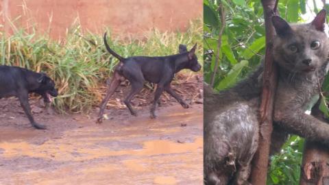Cães violentos a solta matam 10 gatos em bairro de Campo Grande