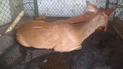 Vídeo: entre a vida e a morte, cervo-do-pantanal é salvo após ser atropelado na MS-339