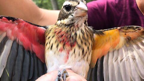 Cientistas encontram pássaro metade macho e metade fêmea