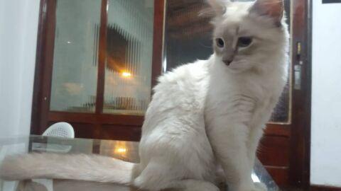 Gatinha cuiabana é o primeiro bicho a ser diagnosticado com Covid-19 no Brasil