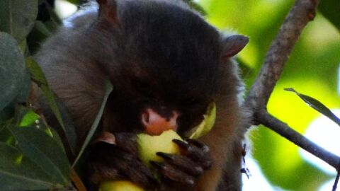 Herpes transmitida por humanos causou a morte de 16 macacos em Cuiabá
