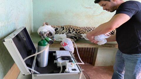 Onça ferida em incêndio no pantanal está se recuperando com ajuda de Ozonioterapia