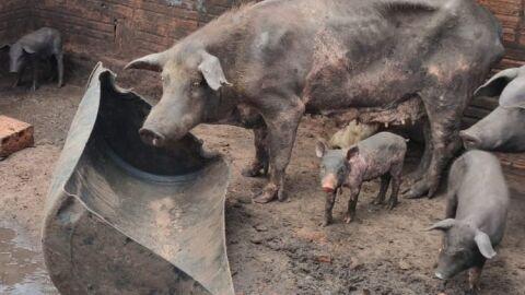 Criando porcos desnutridos, homem é multado e responderá por crime ambiental