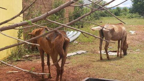 PMA encontra cavalos debilitados, feridos, com parasitas e sem nenhum alimento em MS
