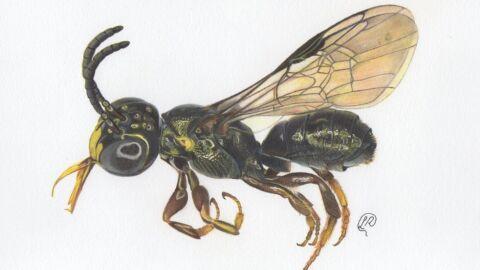 Espécie nova de abelha é descoberta em Goiás