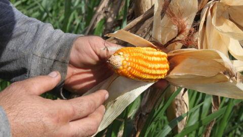 Retorno econômico do milho safrinha 2021, em Mato Grosso do Sul