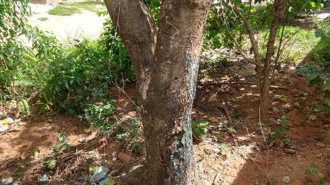 Agente comunitária é multada após 'meter a pua' e envenenar árvore em MS