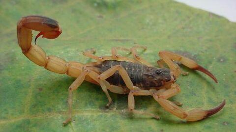 Peçonhento: repelente solar afasta escorpião a 650 metros quadrados no quintal