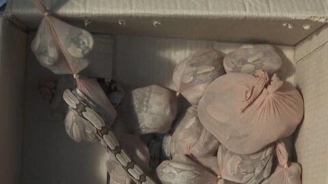 Enroladas em meias, 15 jiboias vivas são enviadas em pacote pelos Correios