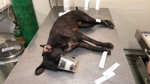 Pitbull ataca dois cachorros da mesma família e tutor é multado em R$1.500