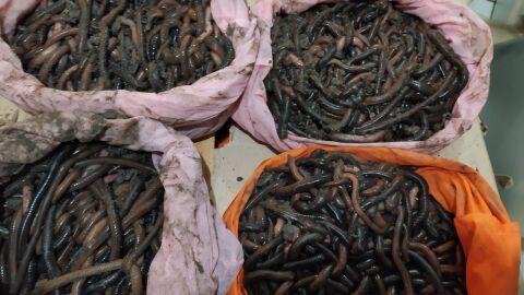 Vídeo: goiano é flagrado com 840 minhocuçus e multado em quase meio milhão em MS