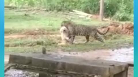 Vídeo: onça pega cachorro no quintal e sai arrastando tranquilamente; pessoa filma em silêncio