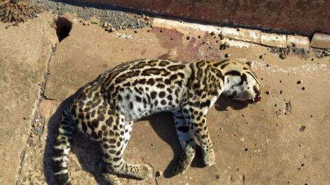 PMA é chamada para resgate, mas encontra jaguatirica morta