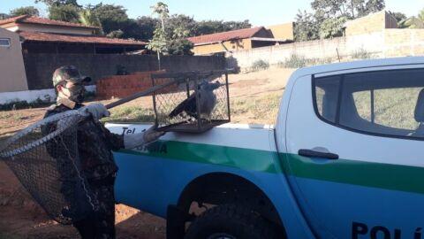 Polícia Militar Ambiental de Miranda captura gavião com asa lesionada em residência