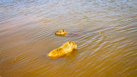 Pescaria irregular resulta em capivara ferida com anzol na Lagoa Maior