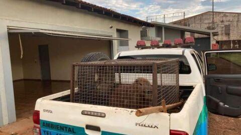 Polícia captura capivara dentro de motel em cidade de MS