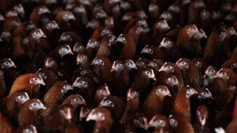 Arábia Saudita suspende compras de aves de 11 frigoríficos do Brasil