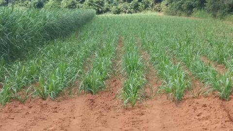 Produtor rural aprende técnicas em curso e se prepara para alimentar o gado durante seca