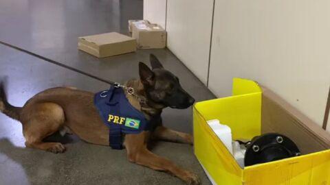 Cães da PRF descobrem cocaína 'in natura' que iriam até para Hong Kong
