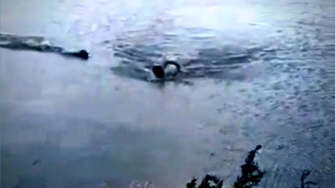 Vídeo: jacaré ataca homem em lago de Campo Grande