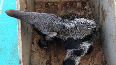 Filhote de tamanduá, gambá e coruja são deixados pelos pais