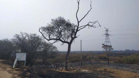 Vídeo: Piúva que abrigava Ninho do Tuiuiú é destruída pelo fogo no Pantanal