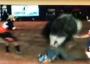 VÍDEO: peão morre ao ser pisoteado por touro em MS