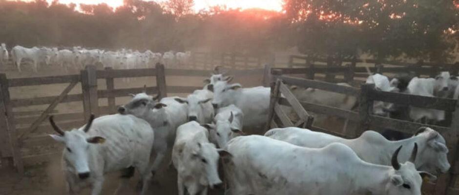 Quadrilha suspeita de comprar gado roubado e vender vai parar na lista da Interpol