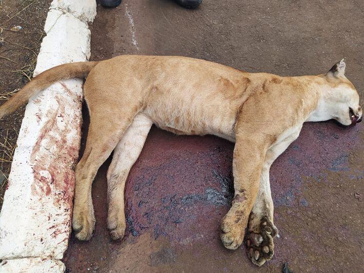 O animal pode terv sido atropelado e abandonado às margens da via