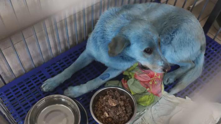 Cachorros com pelos azuis chamaram a atenção de moradores na Rússia, mas exames não apontaram anormalidades nos animais