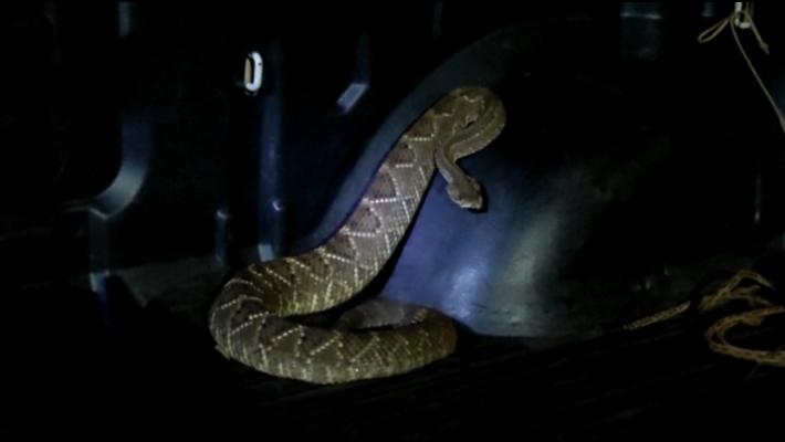 Cobra cascavel capturada em residência de Mundo Novo