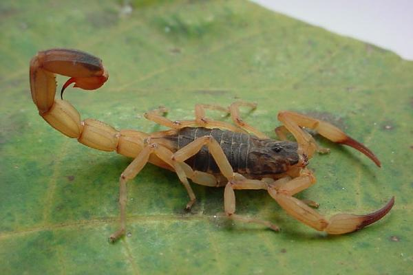Escorpiões amarelos são animais errantes, de hábitos solitários e noturnos