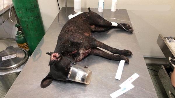 Cachorros foram levados pela Polícia Militar Ambiental para atendimento no hospital veterinário da UFMS