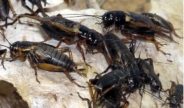 Gryllus assimilis que tem aparecido na Capital é estudado como fonte de alimento, inclusive no Brasil